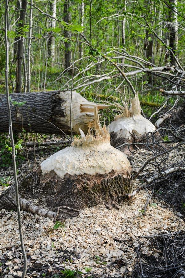 Les castors ont réduit des arbres par la rivière photographie stock libre de droits
