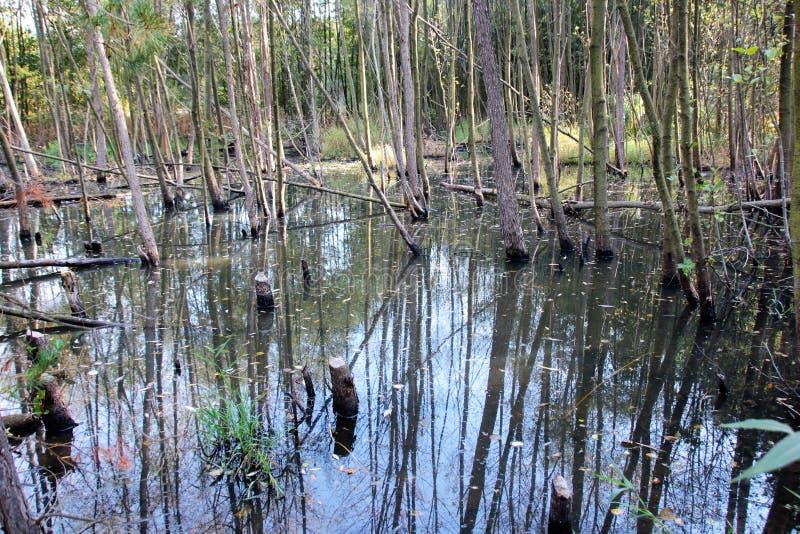Les castors ont réduit des arbres pour construire leur barrage images libres de droits