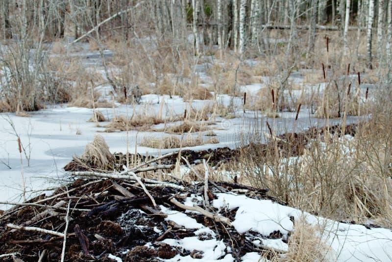 Les castors vivent sous la glace en hiver, barrage de castor photos stock