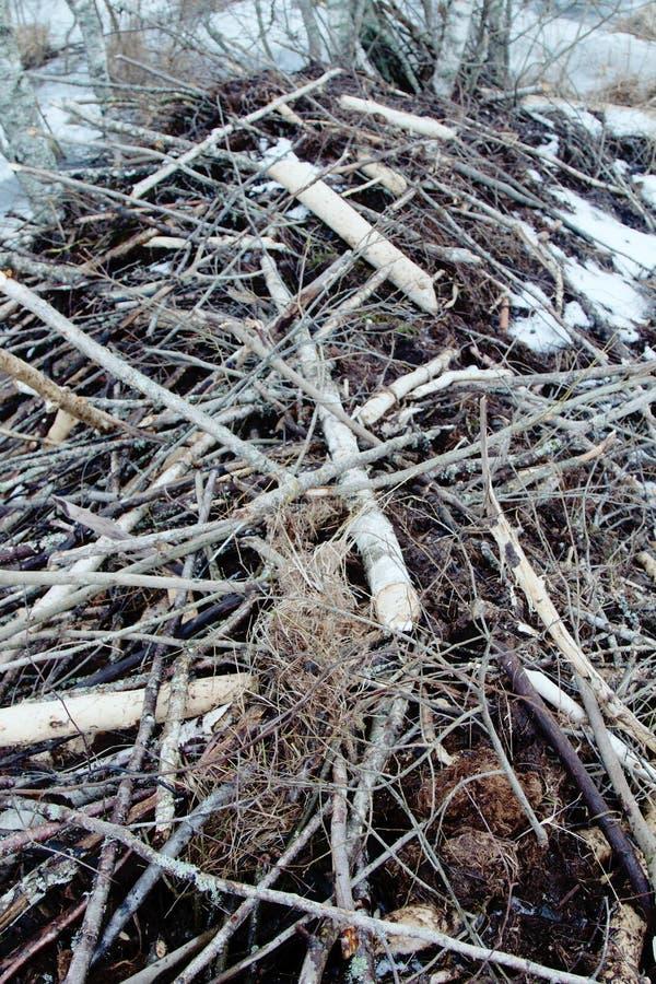 Les castors vivent sous la glace en hiver, barrage de castor photographie stock
