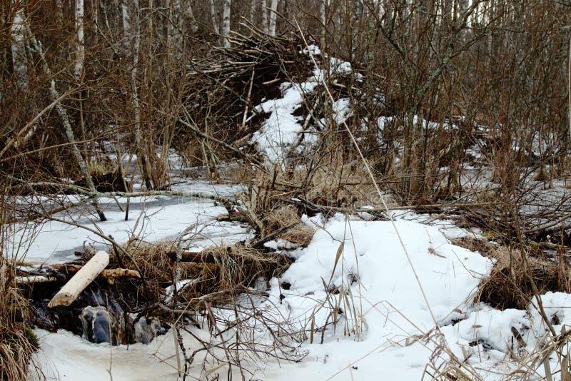 Les castors vivent sous la glace en hiver, barrage de castor photo stock