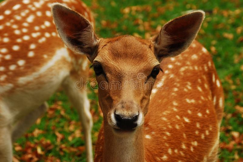 Les cerfs communs image stock
