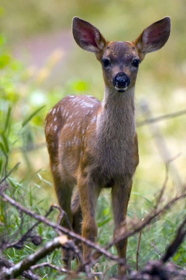 Les cerfs communs adulent dans le balai photos libres de droits