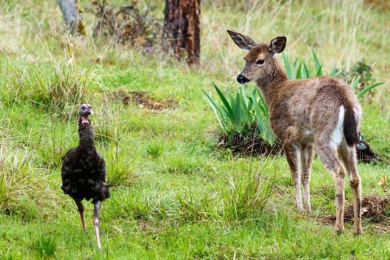 Les cerfs communs adulent regarder une dinde photographie stock libre de droits