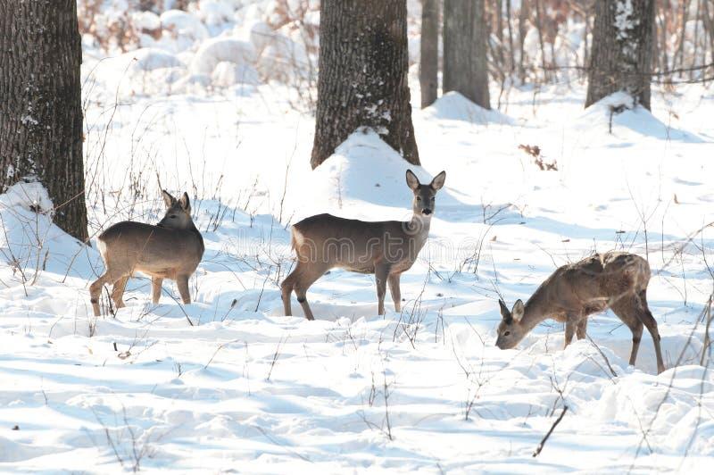 Les cerfs communs d'oeufs de poisson adultes dans la forêt en hiver assaisonnent photographie stock