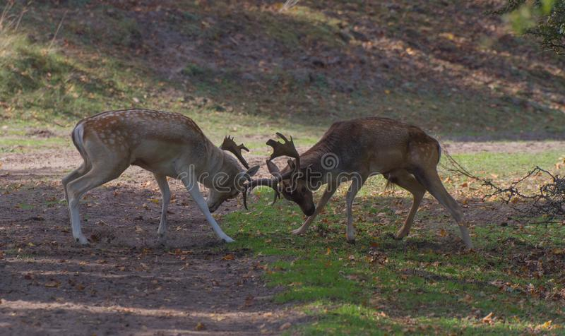 Les cerfs communs de combat photo stock