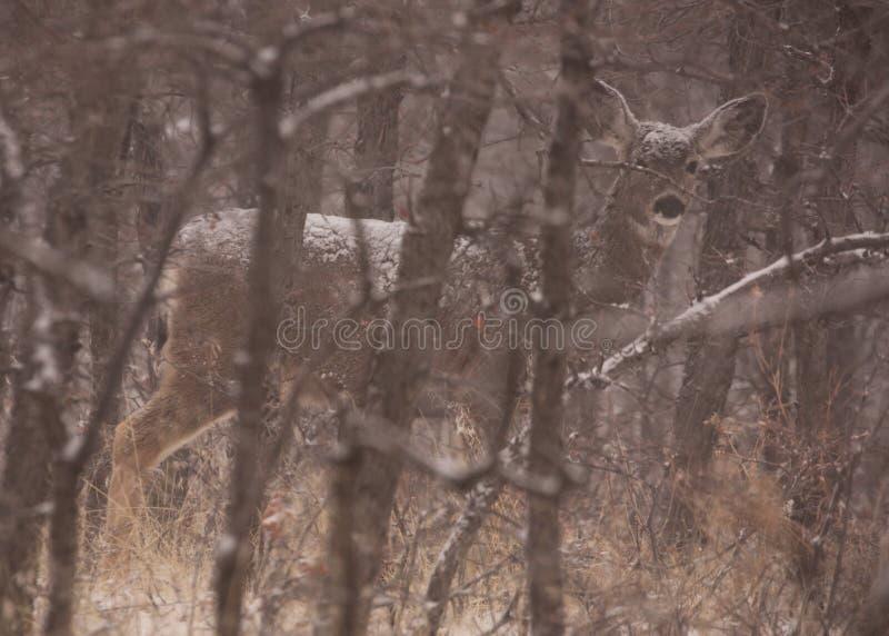 Les cerfs communs de mule dans la neige cachée par l'hiver découvrent des arbres photos stock