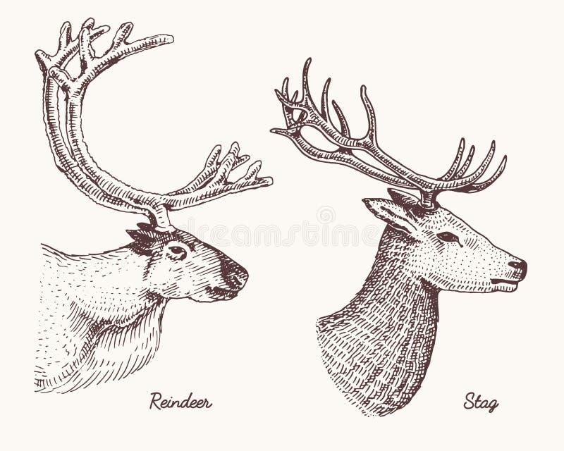 Les cerfs communs de renne et de mâle dirigent l'illustration tirée par la main, les animaux sauvages gravés avec des andouillers illustration libre de droits