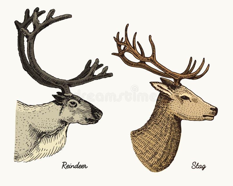 Les cerfs communs de renne et de mâle dirigent l'illustration tirée par la main, les animaux sauvages gravés avec des andouillers illustration stock