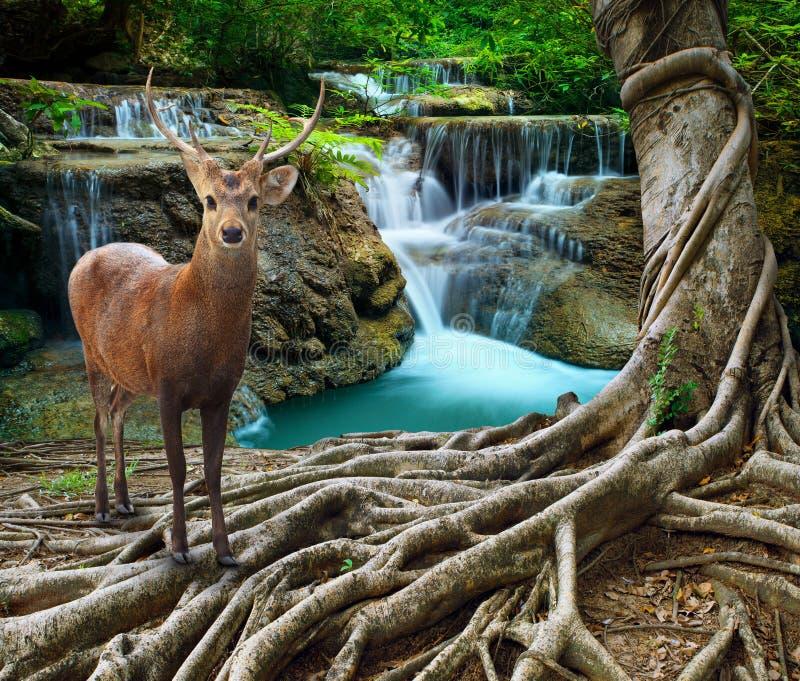 Les cerfs communs de Sambar se tenant près de l'arbre bayan s'enracinent devant le sto de chaux photo libre de droits