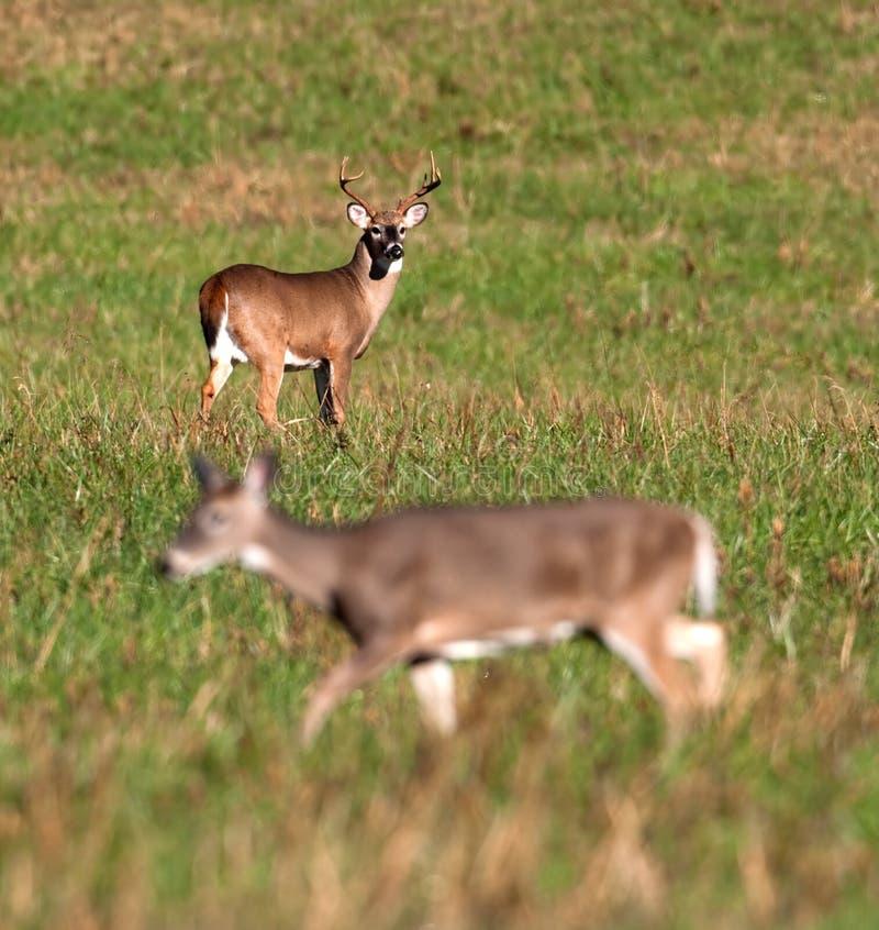 Les cerfs communs de Whitetail opposent la daine de observation pendant l'ornière images libres de droits