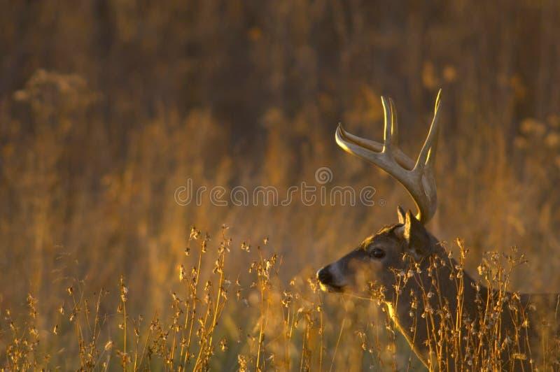 Les cerfs communs de Whitetail s'opposent au coucher du soleil