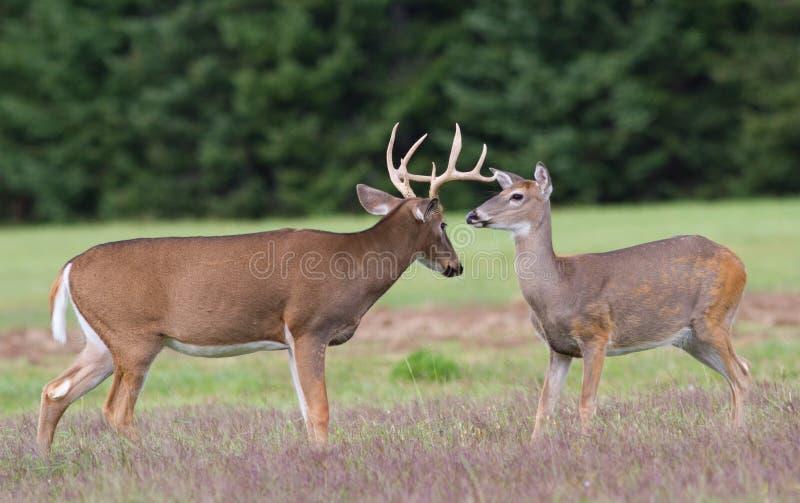 Les cerfs communs de Whitetail s'opposent et daine photo stock