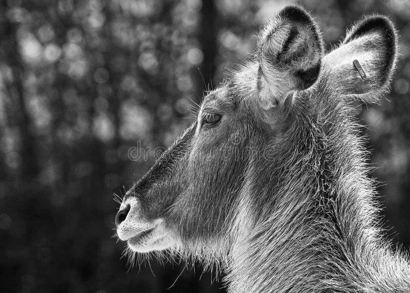 Les cerfs communs font face à la fin vers le haut du blanc noir photographie stock