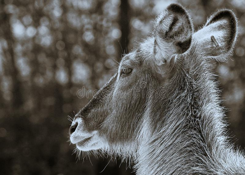 Les cerfs communs font face à la fin vers le haut du brun bleu image libre de droits