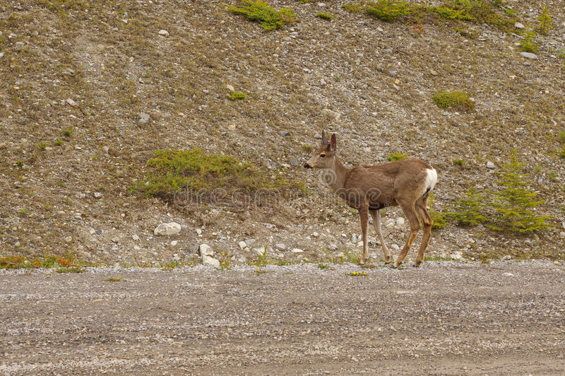 Les cerfs communs sur la traînée à Kananaskis, Alberta Canada occidentale photo stock