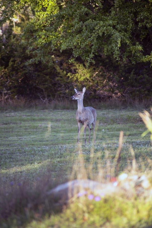 Les cerfs de Virginie frôlent photographie stock