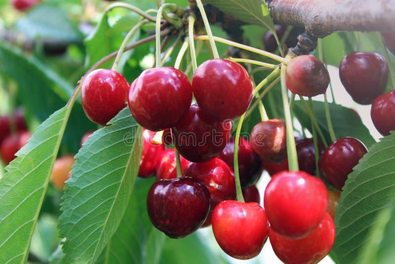 Les cerises rouges photos stock