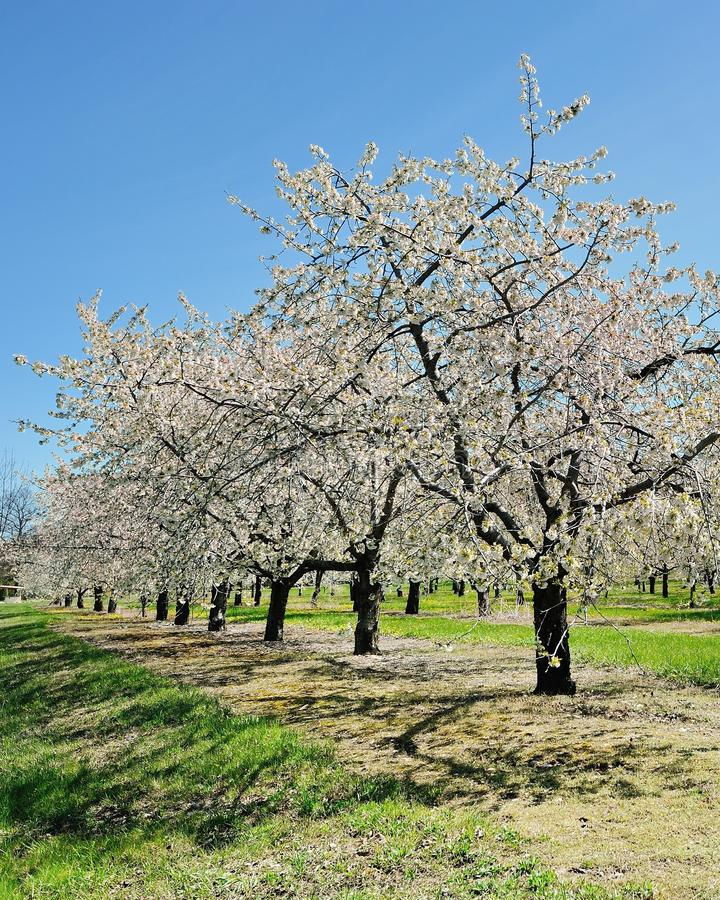 Les cerisiers traversent la ville, Michigan image libre de droits