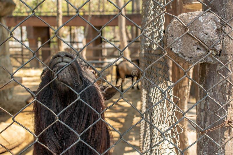 Les chèvres de montagne sont dans les cages et regardent vers le haut images stock