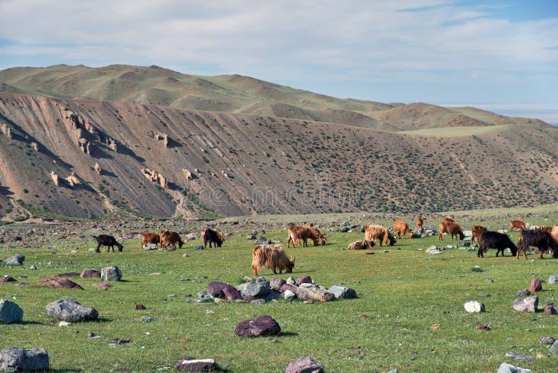 Les chèvres frôlent sur le pâturage de steppe de montagne dans la frontière naturelle Tsagduult de montagne en Mongolie photo libre de droits