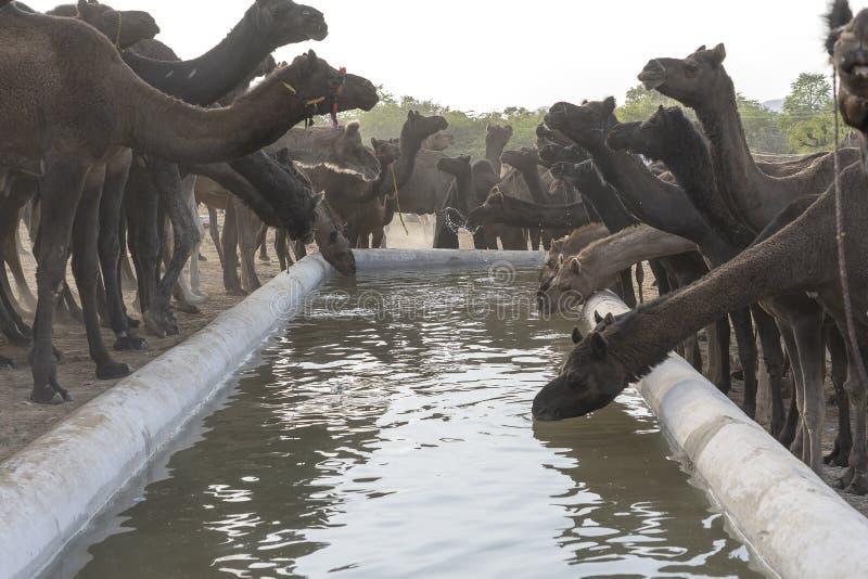Les chameaux boivent l'eau dans le d?sert Thar pendant la foire de chameau de Pushkar, R?jasth?n, Inde photo libre de droits
