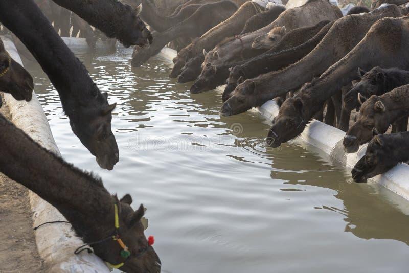 Les chameaux boivent l'eau dans le d?sert Thar pendant la foire de chameau de Pushkar, R?jasth?n, Inde photo stock