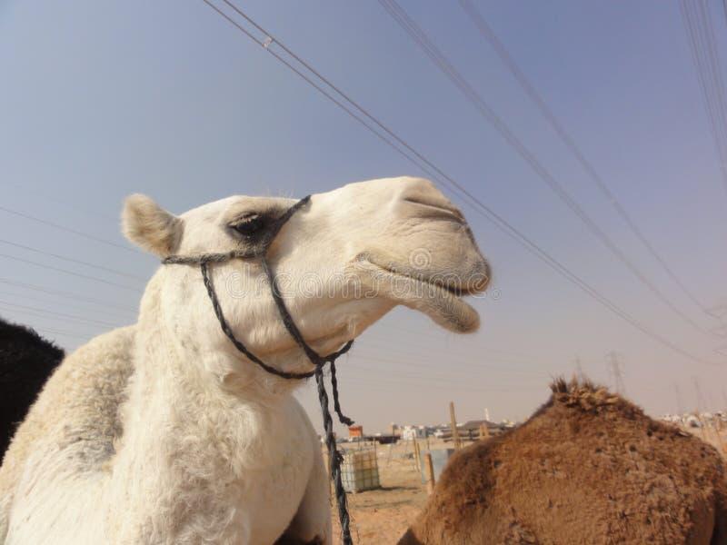 Les chameaux du Moyen-Orient dans le désert photographie stock libre de droits