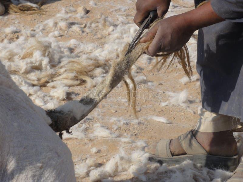 Les chameaux du Moyen-Orient dans le désert image libre de droits