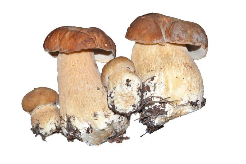 Les champignons de puces photographie stock libre de droits