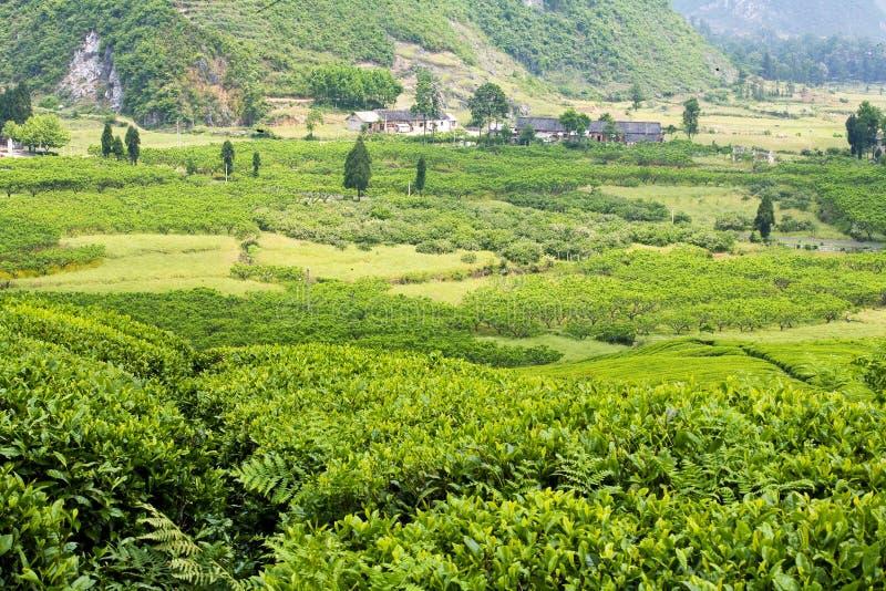 Les champs de thé images libres de droits