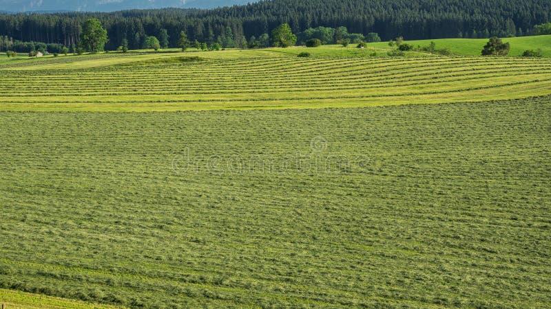 Les champs verts avec l'herbe et le foin ont coupé prêt à être moissonné Collines en Allemagne du sud pas loin des Alpes photos stock