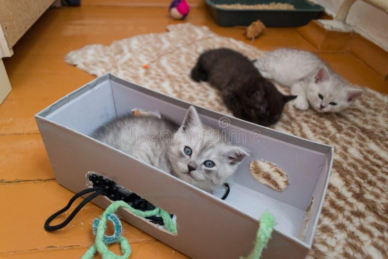 Les chatons gris noirs et blancs sont mensonge fatigué sur le plancher image libre de droits