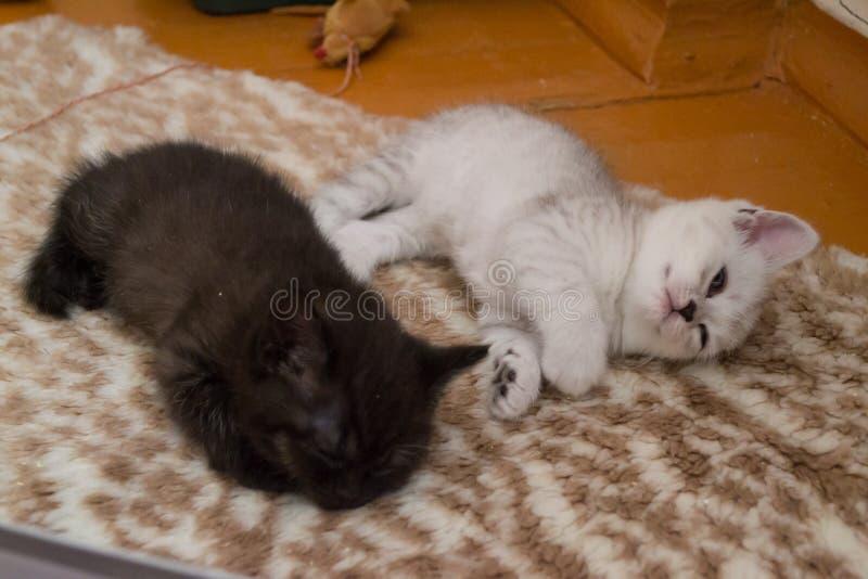 Les chatons gris noirs et blancs sont mensonge fatigué sur le plancher photographie stock libre de droits
