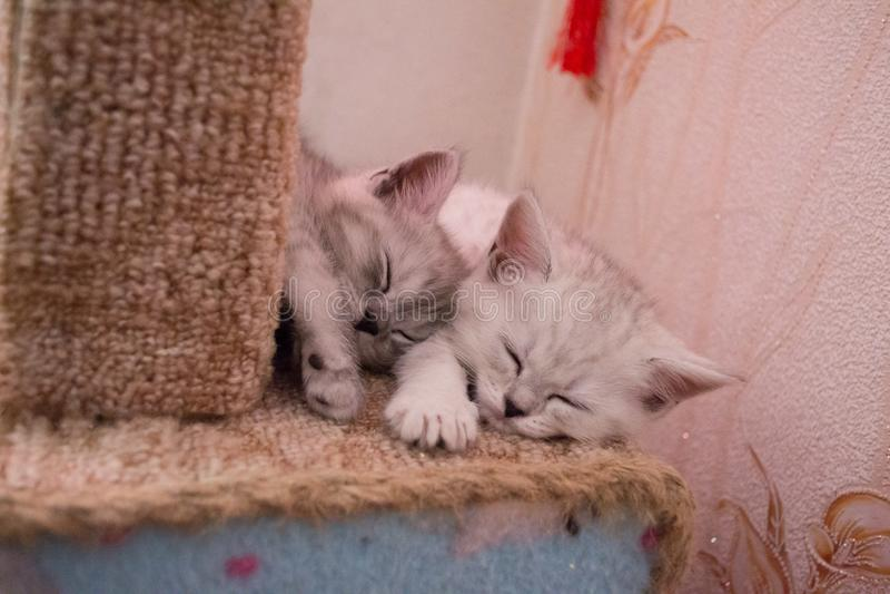 Les chatons rayés mignons dorment de mon côté sur la maison de comecem photographie stock