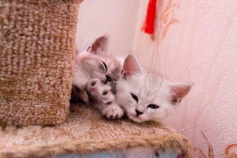 Les chatons rayés mignons dorment de mon côté sur la maison de comecem image libre de droits