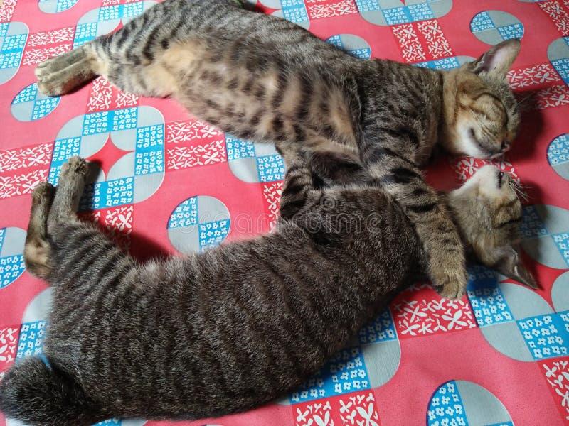 Les chats adorables du Bornéo étreignent image stock