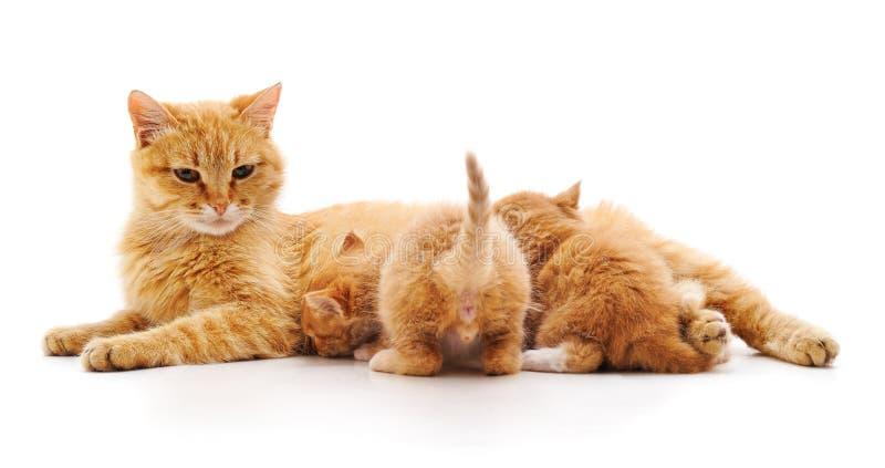 Les chats alimentent les chatons photographie stock