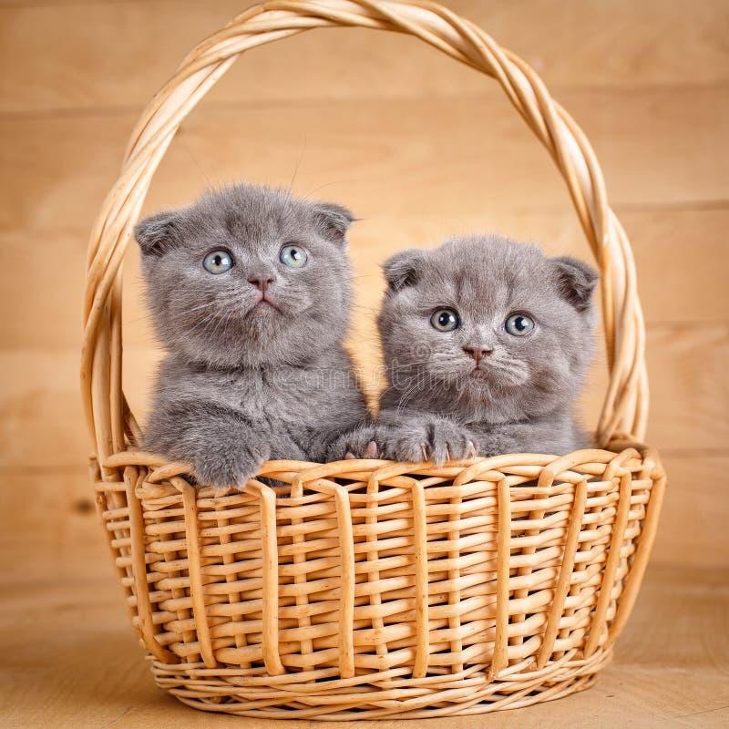Les chats gris de pli d'écossais de couleur se repose dans un panier en osier Chatons espiègles Promotion d'aliments pour chats photo stock