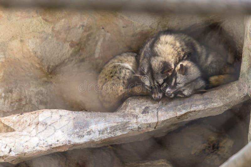 Les chats sauvages noirs et bruns de fourrure dorment au sol dans la cage en parc zoologique de l'Himalaya de Padmaja Naidu chez  images stock