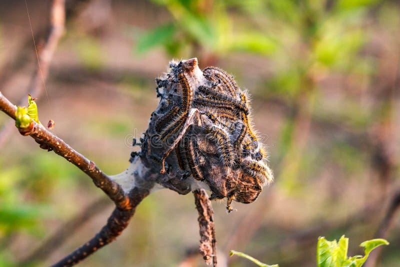Les chenilles tissent un Web sur l'arbre fruitier en premier ressort photos stock