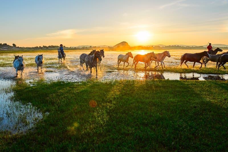 Les chevaux courants dans la lueur de matin photographie stock