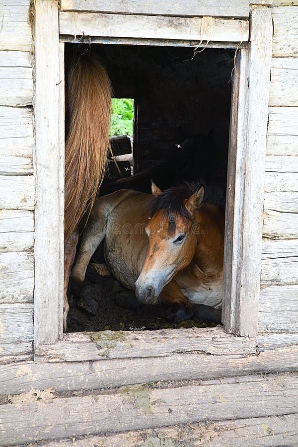 Les chevaux dans une maison abandonnée image libre de droits