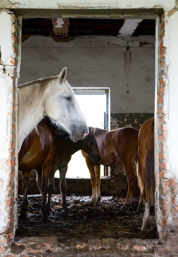 Les chevaux dans une maison abandonnée photographie stock