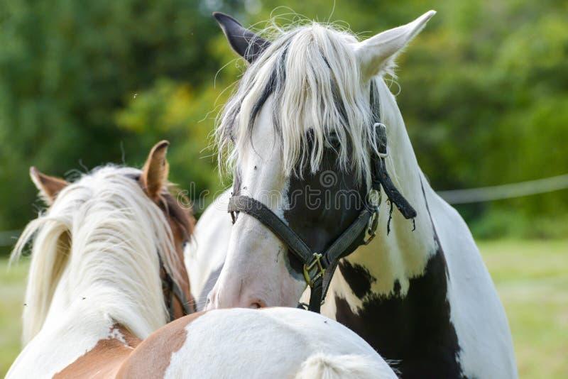 Les chevaux de cirque de carnaval errent dans le jardin photos libres de droits