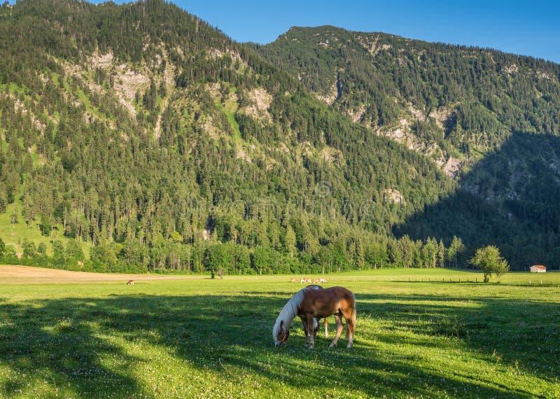 Les chevaux en montagnes des Alpes en Bavière, Allemagne images stock