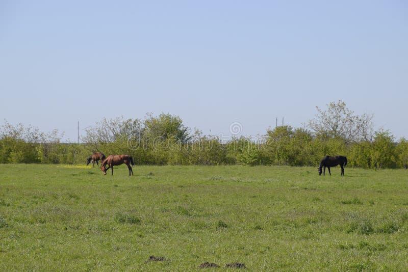 Les chevaux frôlent dans le pâturage Chevaux de pré à une ferme de cheval Chevaux de marche photos libres de droits