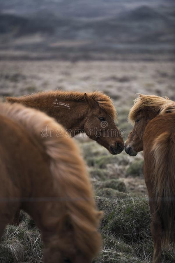 Les chevaux islandais embrassent images libres de droits