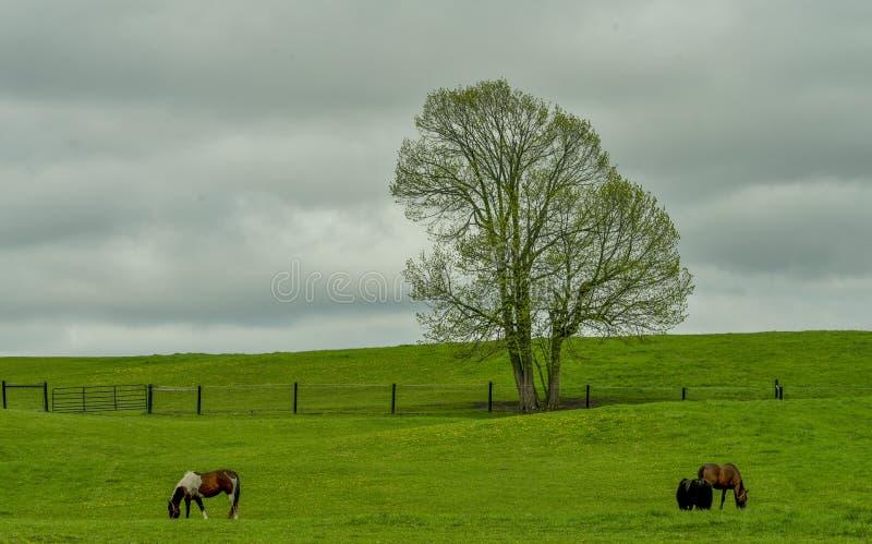 Les chevaux marchent dans la colline photos stock