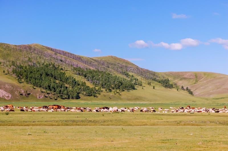 Les chevaux, les moutons et les chèvres frôlent sur la steppe mongole centrale image libre de droits